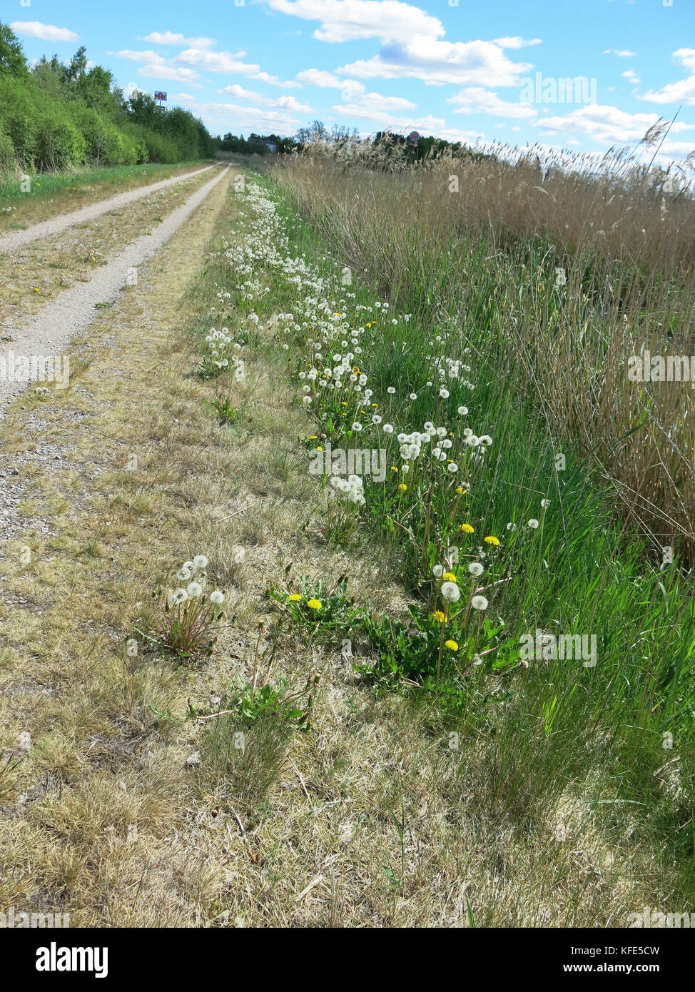 DANDELIONS bloomed at the roadside 2017 - Stock Image