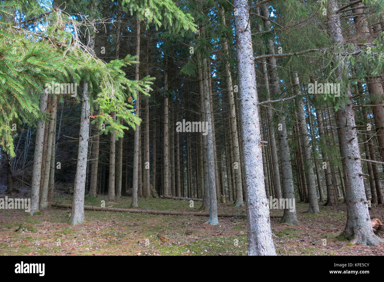 FOREST OF SPRUCE 2017 - Stock Image