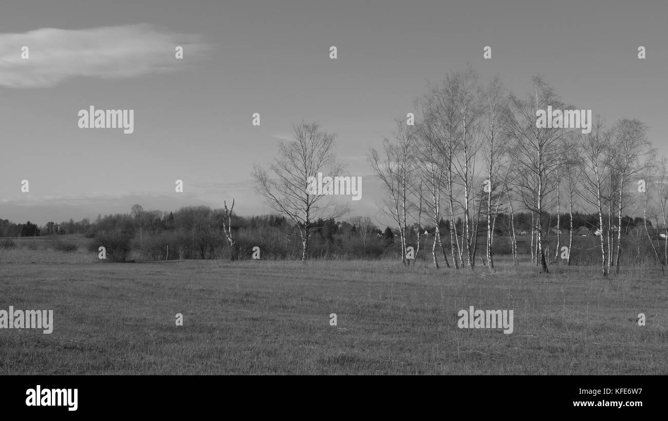 Row of birch trees in winter. - Stock Image