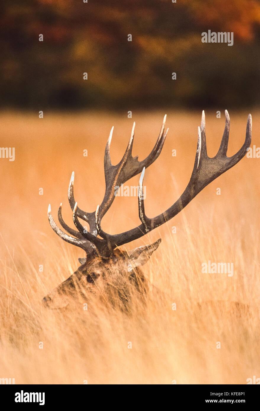 Red Deer stag in autumn, (Cervus elaphus), Richmond Park, London, United Kingdom Stock Photo