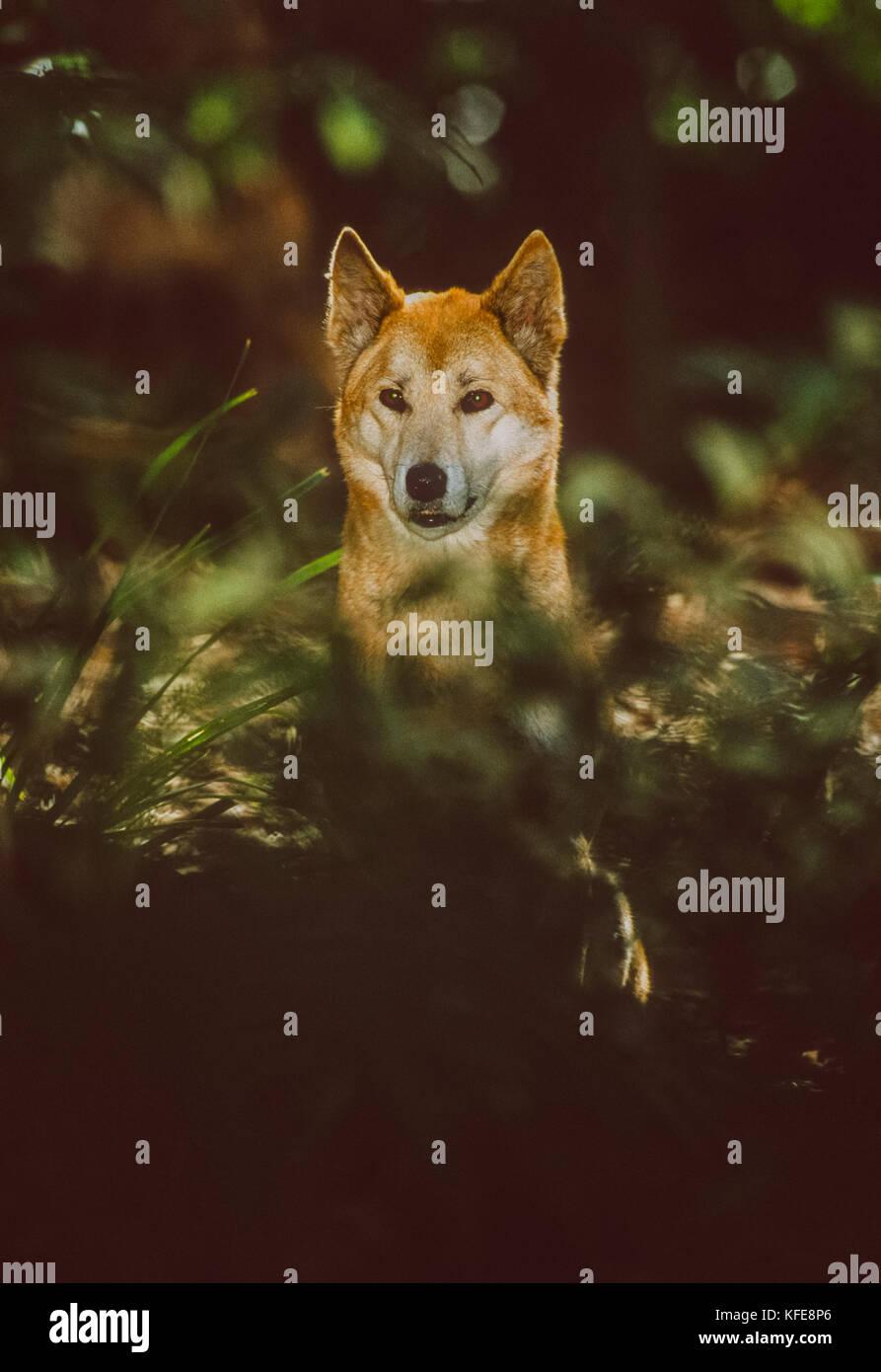Australian Dingo, (Canis dingo or Canis lupus dingo), Fraser Island or K'gari Island, Queensland, Australia Stock Photo