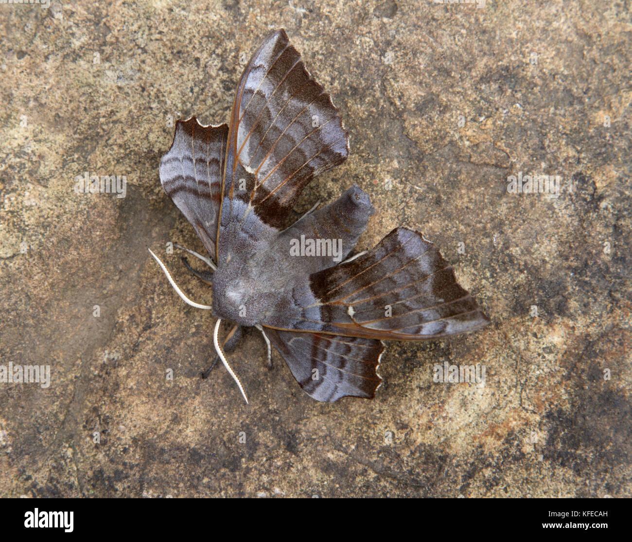 Poplar Hawk-moth (laothoe-populi) on Sandstone Rock - Stock Image