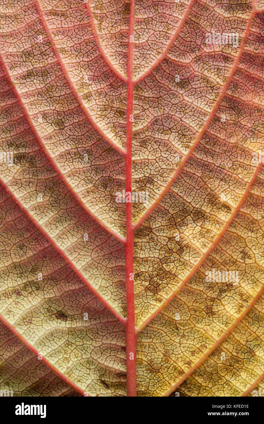Tree leaf underside showing veins, autumn colors - Stock Image