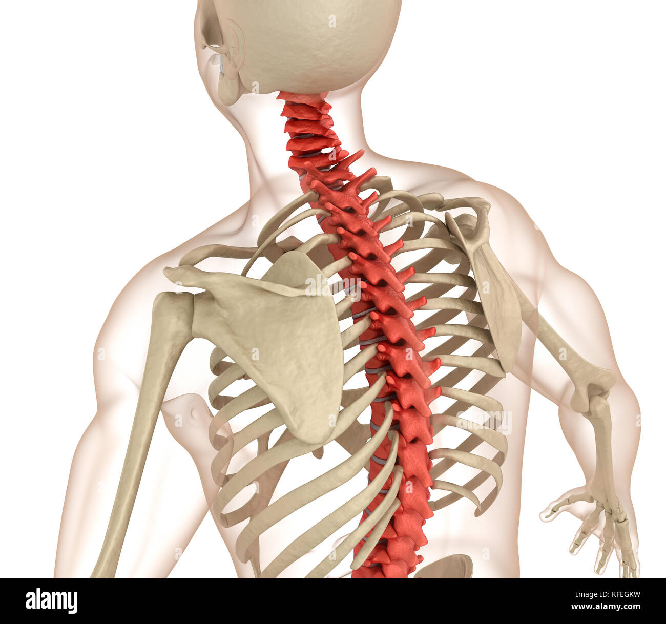 Spinal anatomy. Medically accurate 3D illustration Stock Photo ...