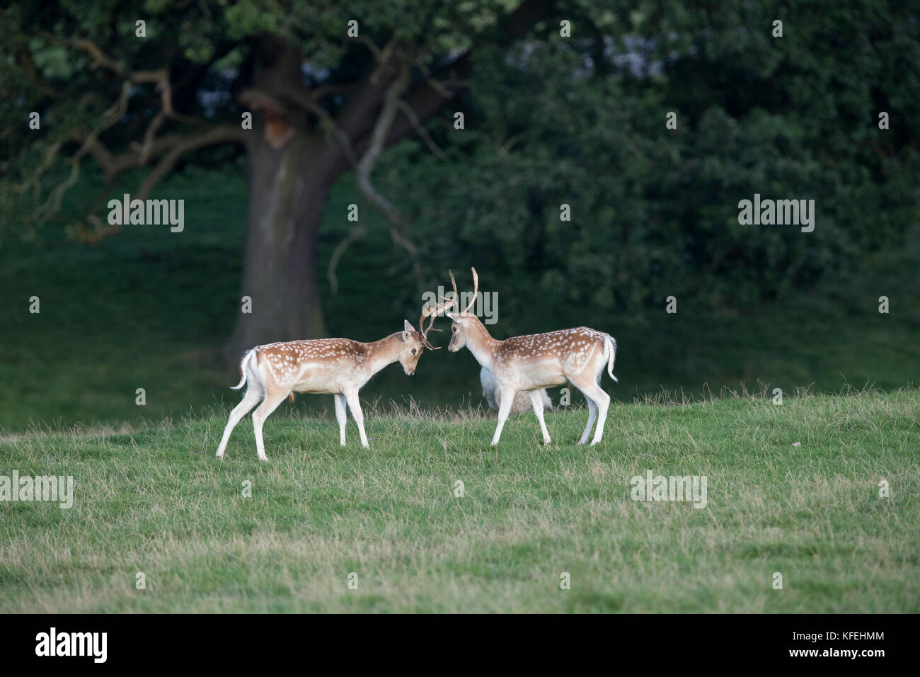 Fallow Deer; Dama dama; Two Bucks; Sparring; Derbyshire; UK - Stock Image