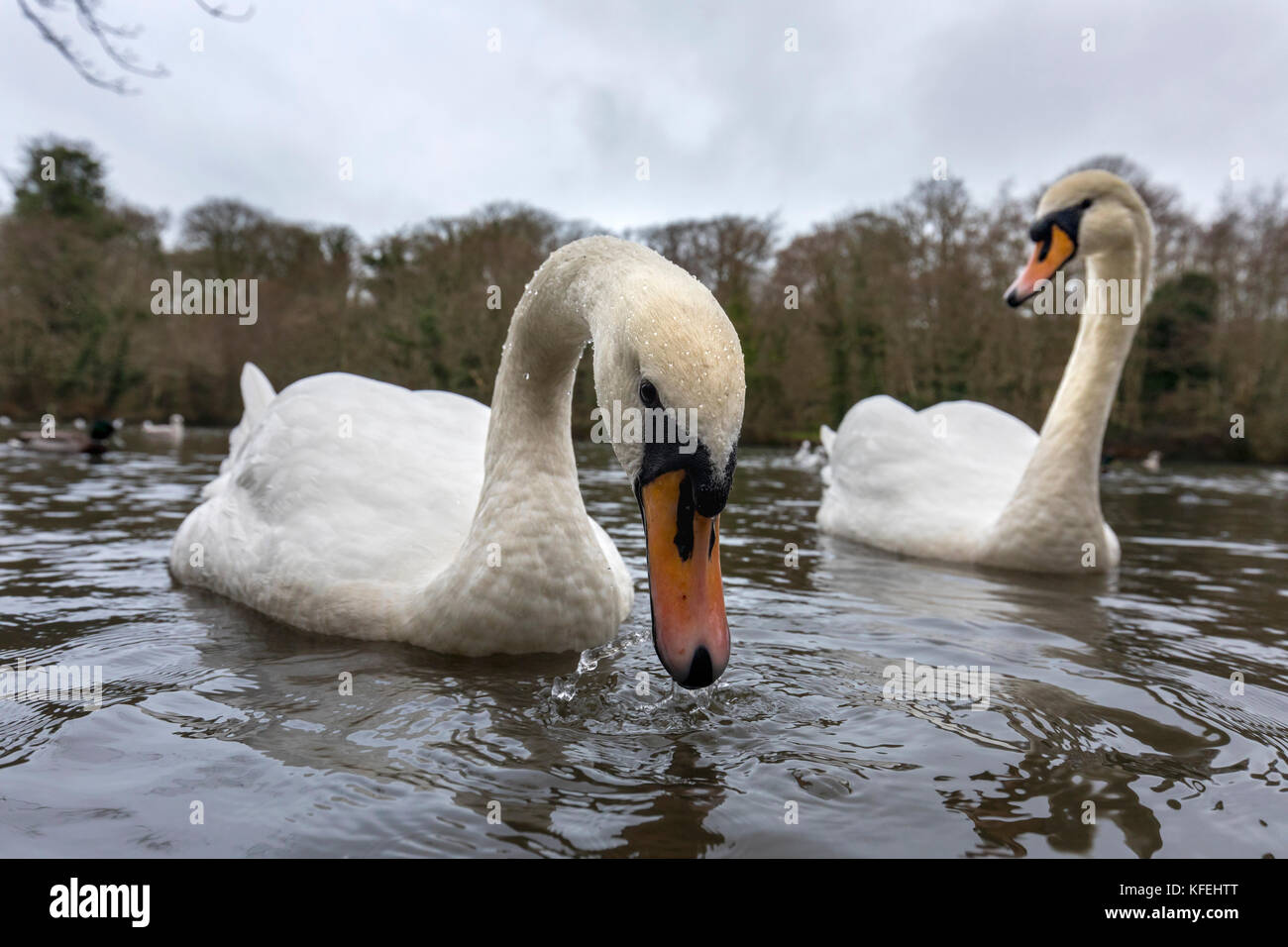 Mute Swan; Cygnus olor Two; Using Wide Angle Lens Cornwall; UK - Stock Image