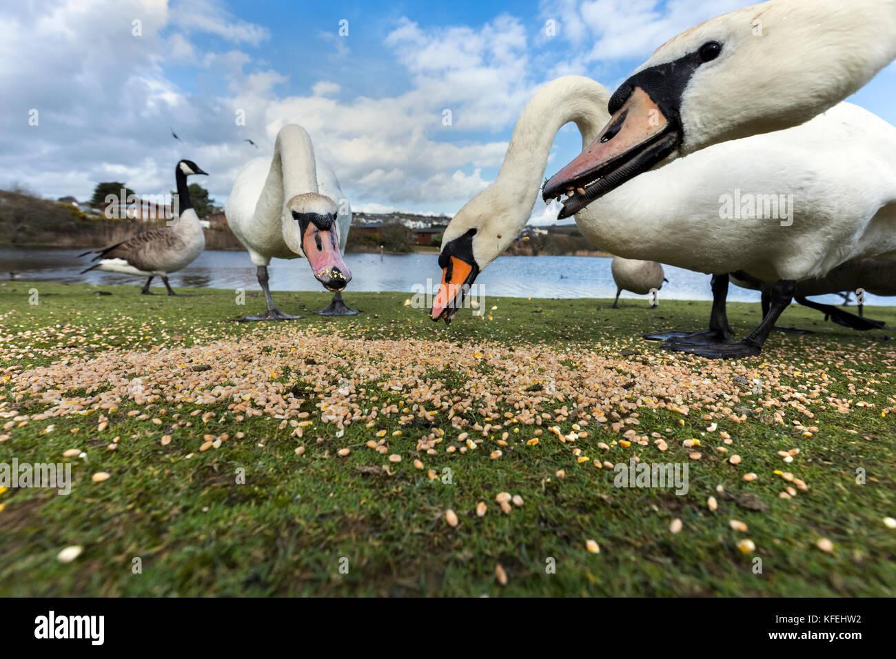 Mute Swans; Cygnus olor; Feeding; Par Beach Pool; Cornwall; UK Stock Photo