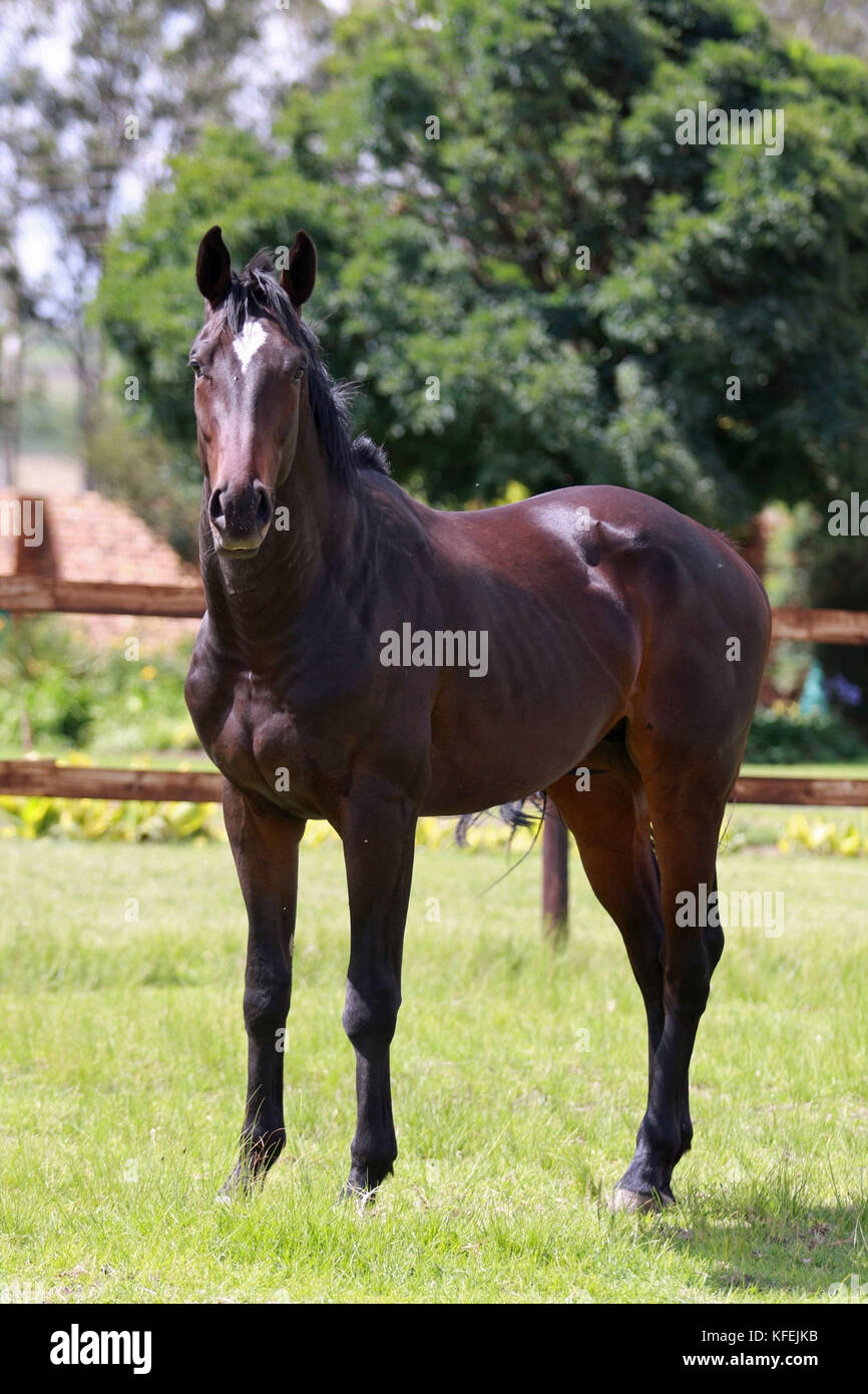 Dark bay gelding in his paddock - Stock Image