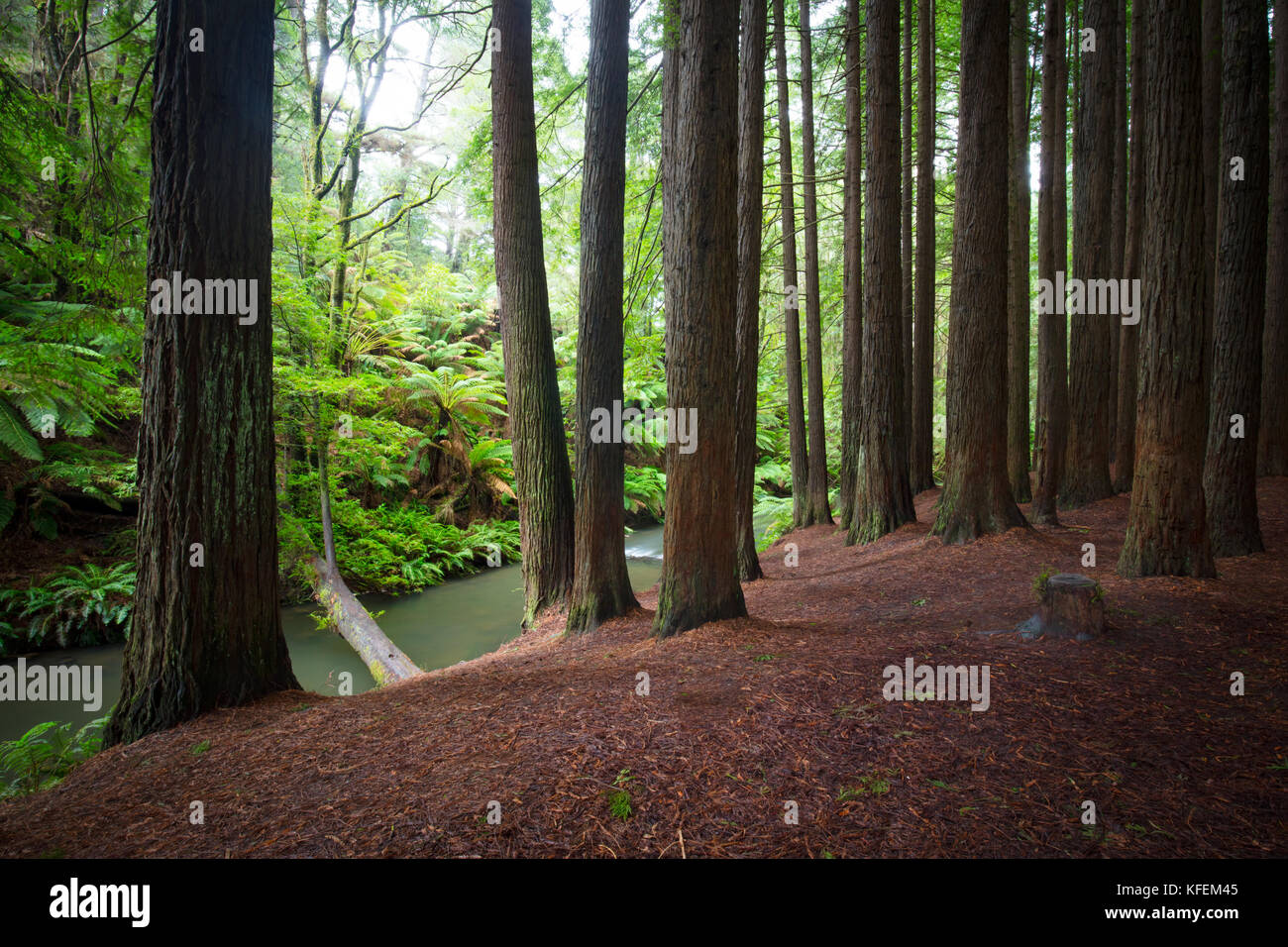 The tranquil Californian Redwood Forest in Cape Otway, Victoria, Australia - Stock Image