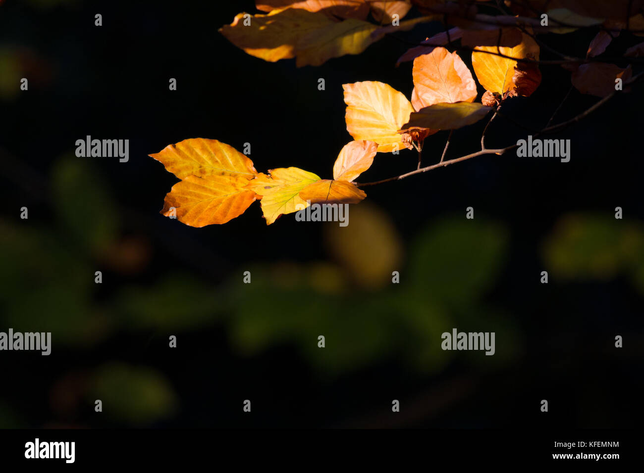 Seasons: autumn leaves isolated in the woods by sunlight - Stock Image