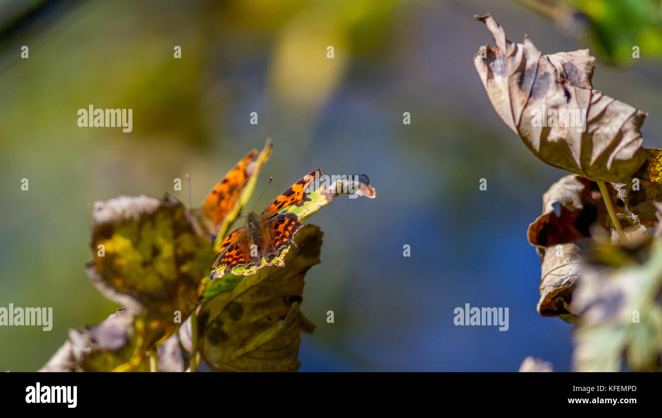 UK wildlife: two comma butterflies hidden in the tree canopy with wings open, warming up in the autumn sunshine - Stock Image