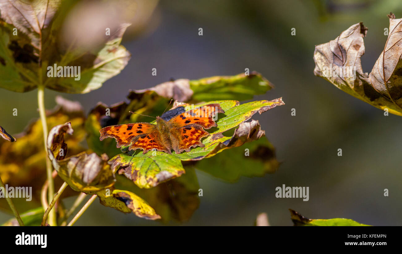 UK wildlife: comma butterfly with wings open, resting in a tree, warming up in the autumn sunshine - Stock Image