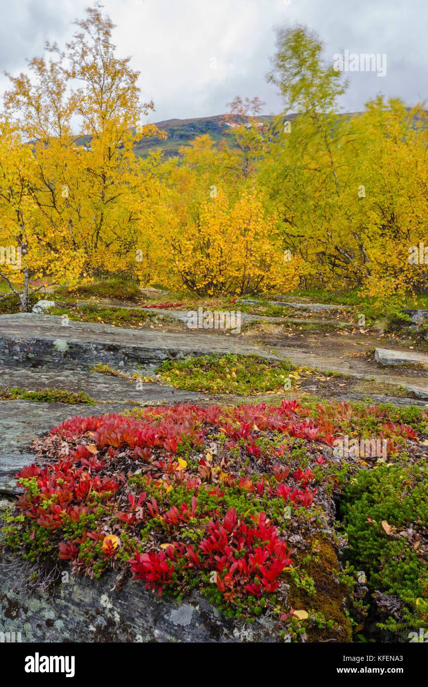 Autumn landscape with red mountain bearberries, yellow birch trees and mountain in background, Abisko, Kiruna county, Swedish Lapland, Sweden Stock Photo