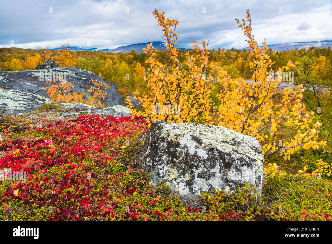 Autumn landscape with yellow birch trees and a mountain in the background, and alpine bearberris in foreground,  Kiruna County, Swedish Landscape, Swe Stock Photo