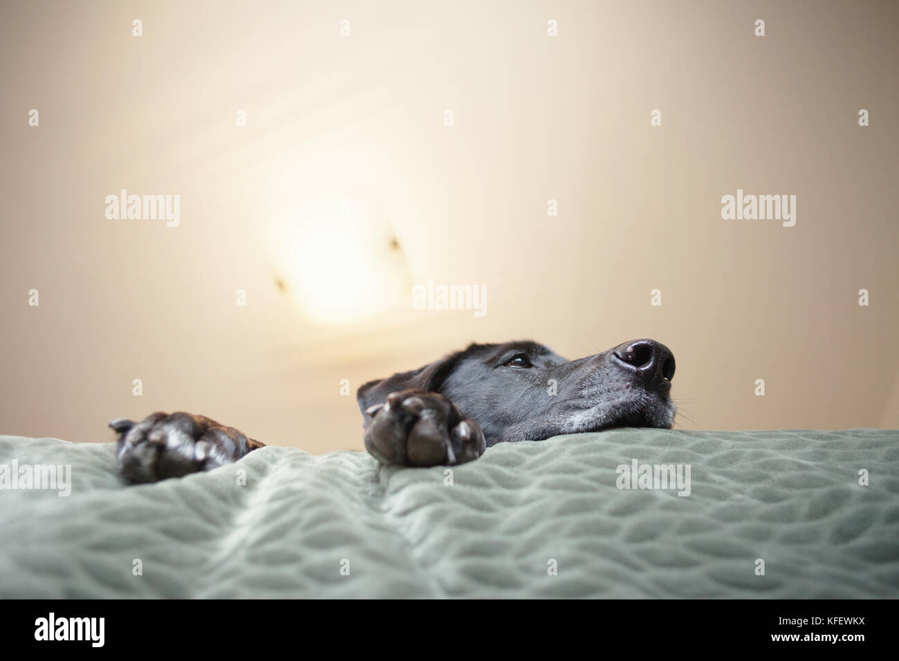 Big dog on bed. - Stock Image