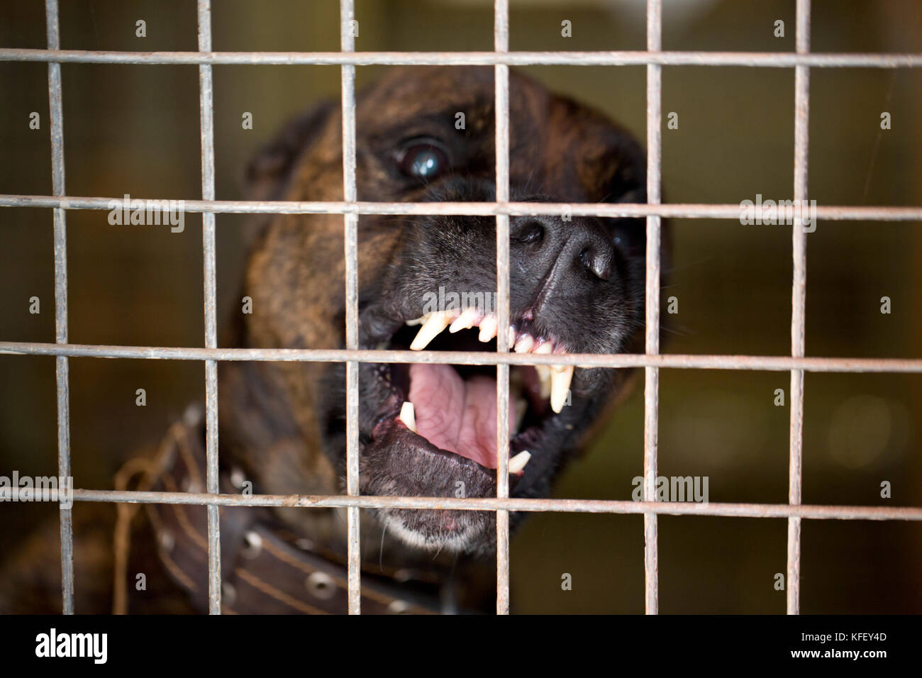 An angry dog seats in a cage and barks - Stock Image