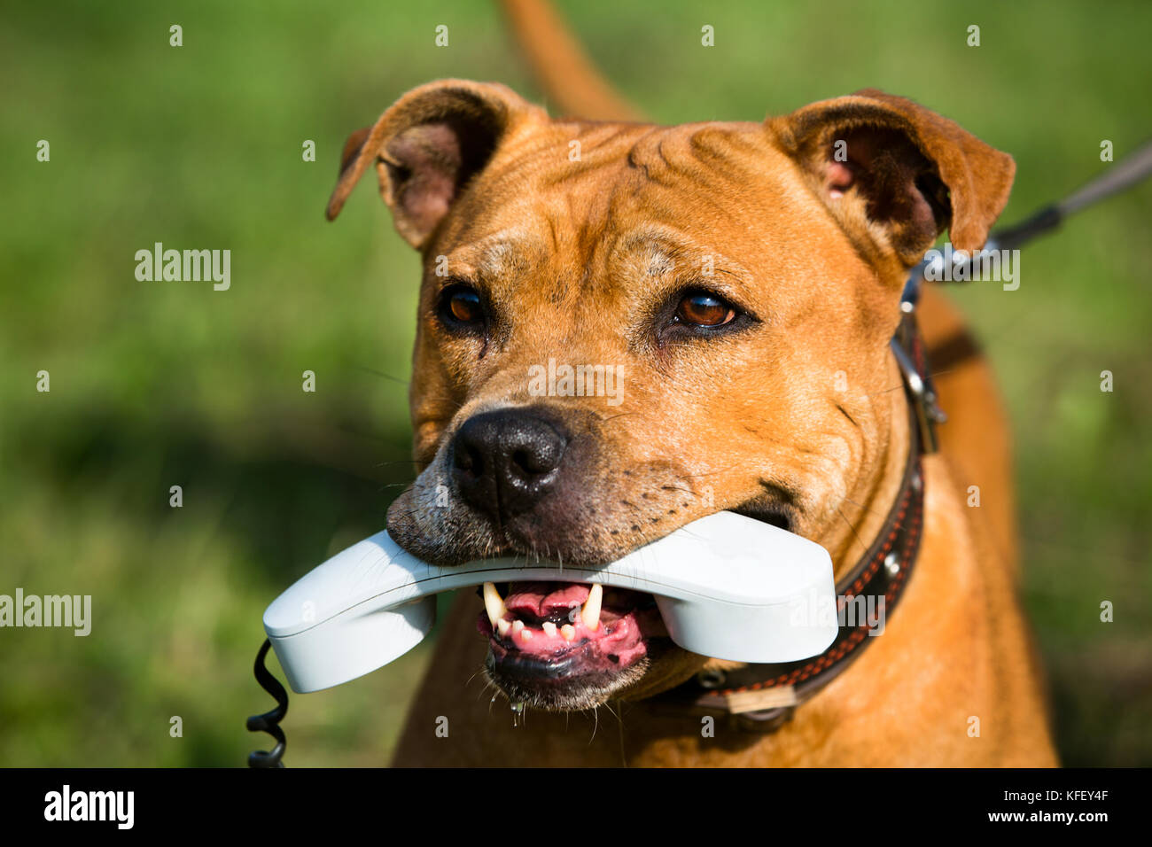 American Staffordshire terrier holding a phone in his mouth - concept of communication - Stock Image