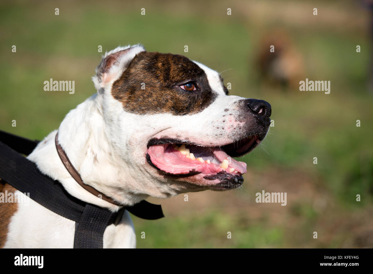A portrait of staffordshire bull terrier on a green meadow - Stock Image
