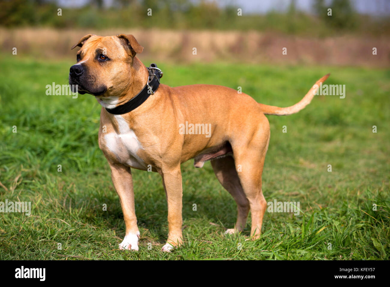 A portrait of staffordshire bull terrier on a green meadow on sunny day - Stock Image