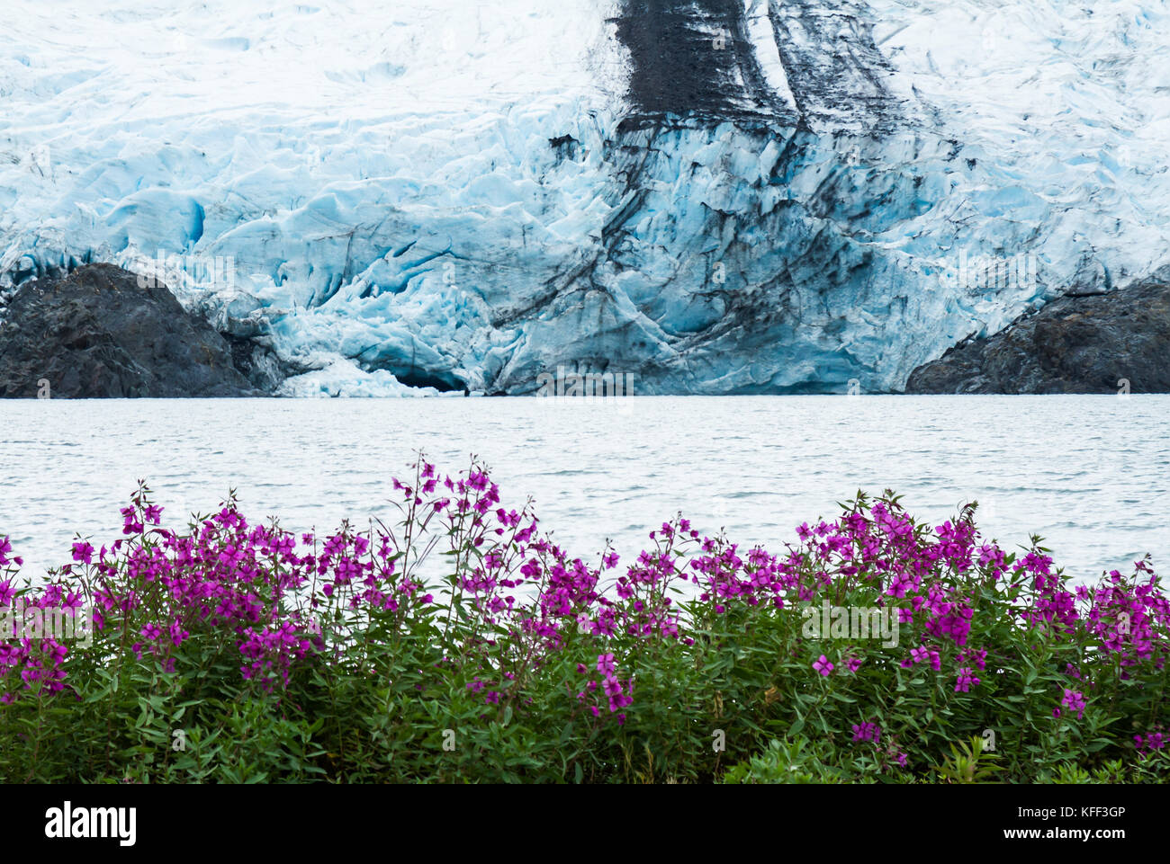 The calving face of Portage Glacier is viewed from the edge of Portage Lake with many pink sweet pea wildflowers - Stock Image