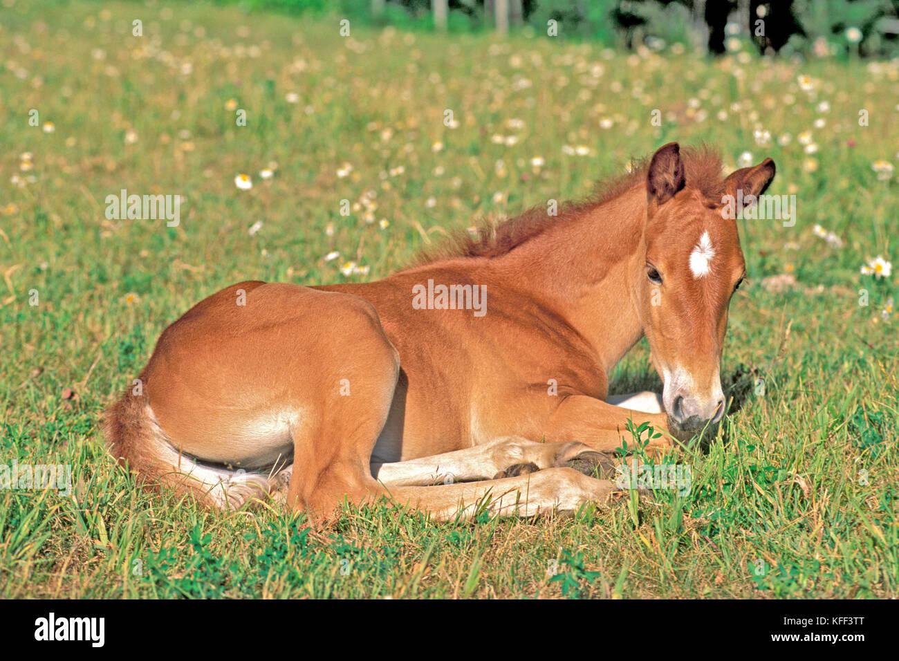 Quarterhorse Foal resting in meadow of flowers Quarterhorse Fohlen liegt in Blumenwiese - Stock Image