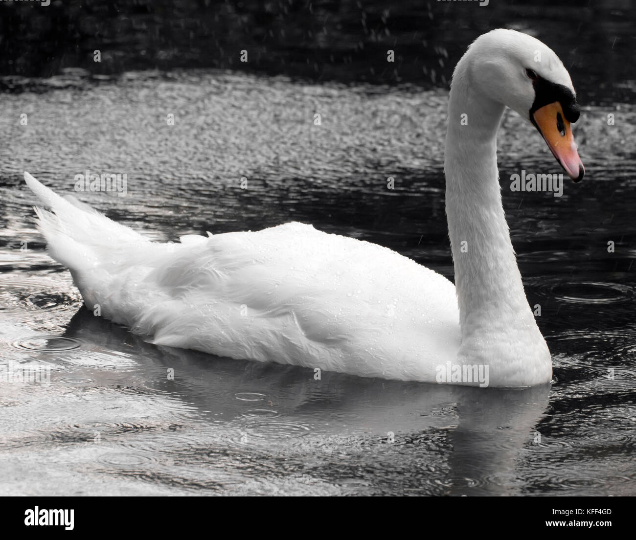 A beautiful swan glides across the water in a seemingly sullen tearful mood - Stock Image