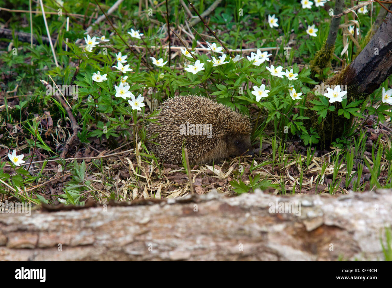 Young hedgehog in spring forest among anemones. Common hedgehog (Erinaceus europeus) and European wood anemone (Anemone - Stock Image