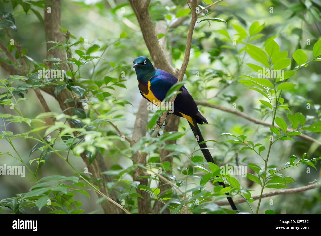 Golden-breasted starling Lamprotornis regius Jurong Bird Park Singapore BI031745 Stock Photo