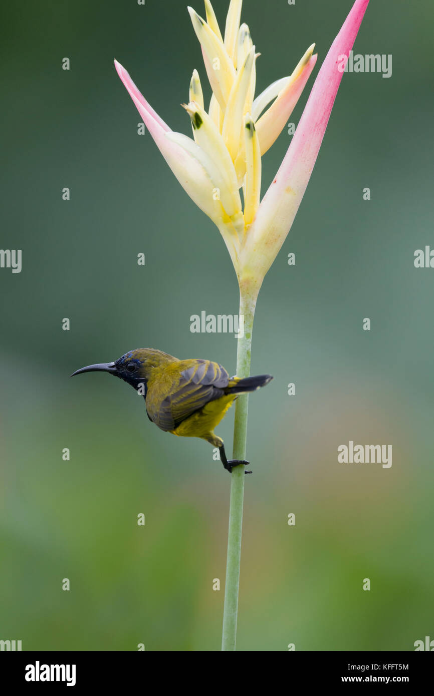 Olive-backed Sunbird - male feeding on Heliconia flower Cinnyris jugularis Singapore BI031763 - Stock Image