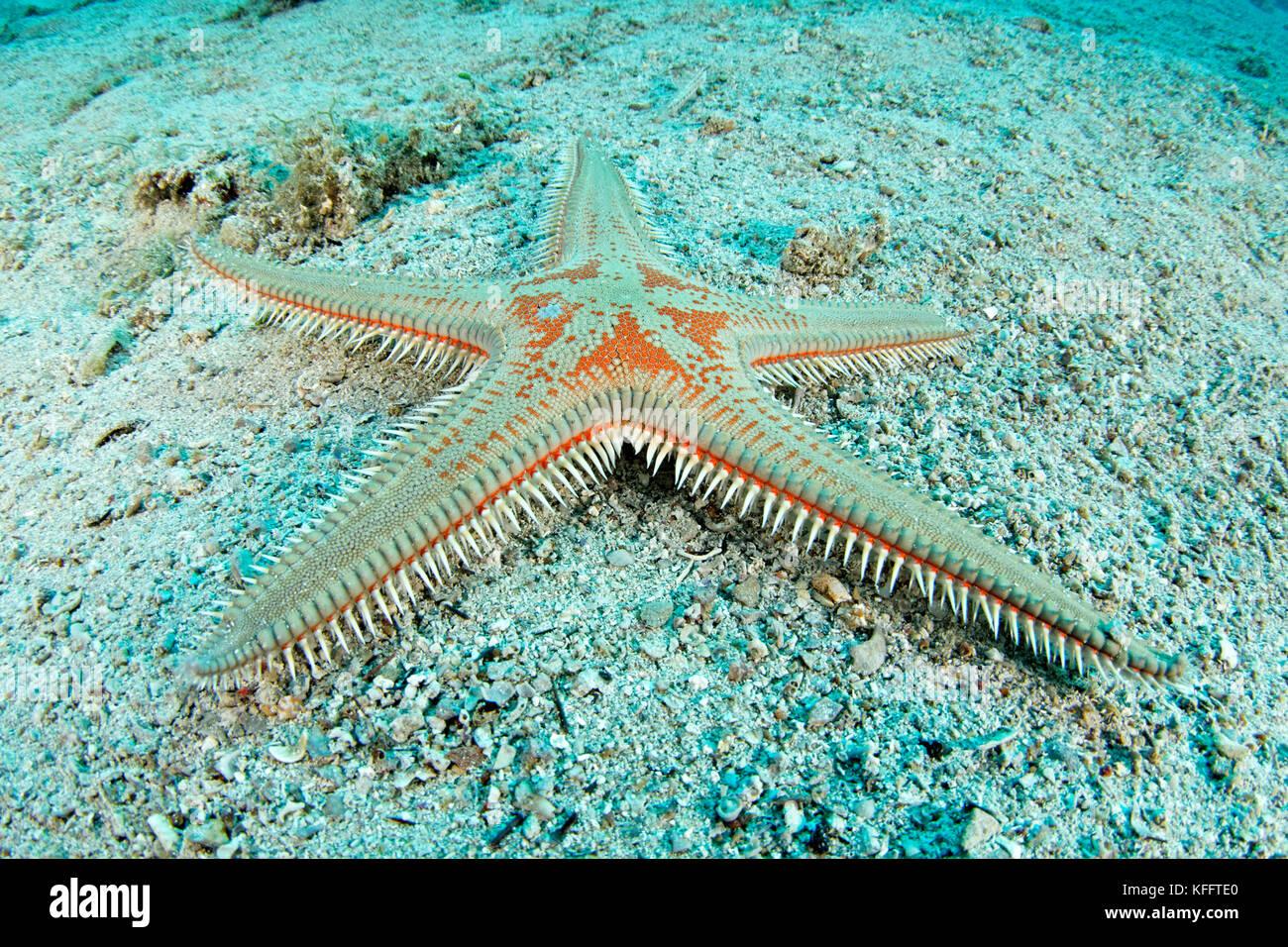 Comb star, Astropecten aranciacus, Adriatic Sea, Mediterranean Sea, Island Brac, Dalmatia, Croatia - Stock Image