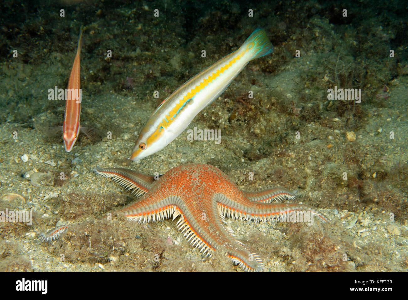 Comb star and Mediterranean rainbow wrasse, Astropecten aranciacus und Coris julis, Adriatic Sea, Mediterranean - Stock Image