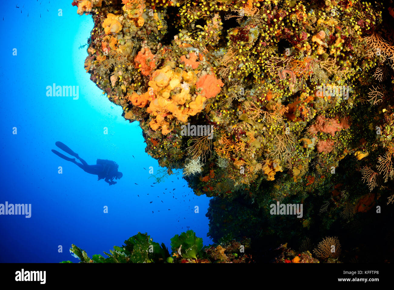 Scuba diver and Coralreef, Adriatic Sea, Mediterranean Sea, Island Lastovo, Dalmatia, Croatia, MR Yes - Stock Image