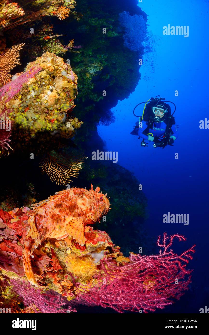 Red scorpionfish, Scorpaena scrofa in Coralreef with scuba diver, Adriatic Sea, Mediterranean Sea, Kornati, Dalmatia, Stock Photo