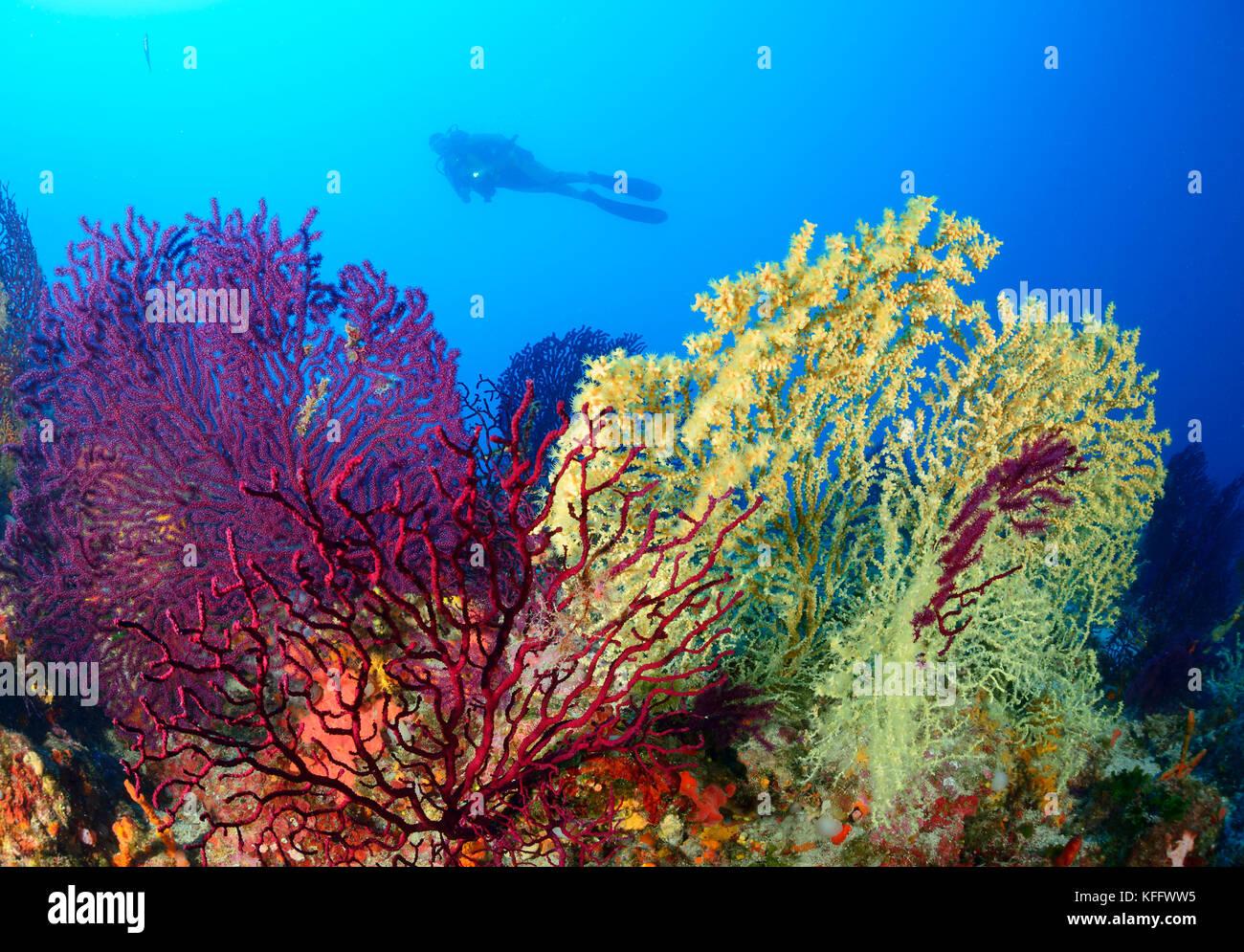 Gold coral and Violescent sea whip, Savalia savaglia and Paramuricea clavata and scuba diver, Adriatic Sea, Mediterranean Stock Photo