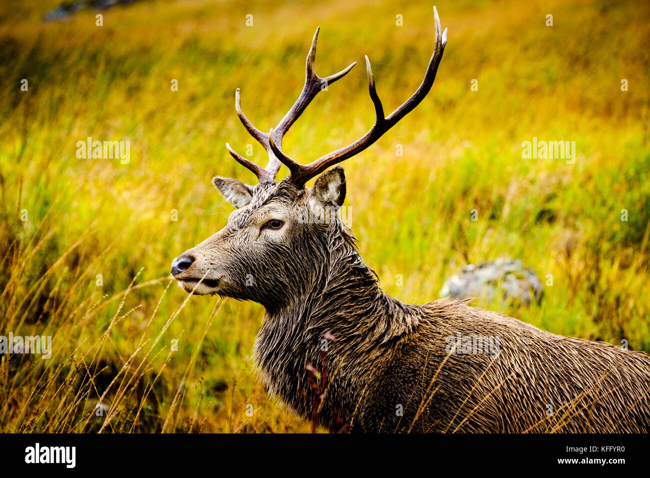 Red deer stag in Glen Etive Highlands of Scotland in late autumn. - Stock Image