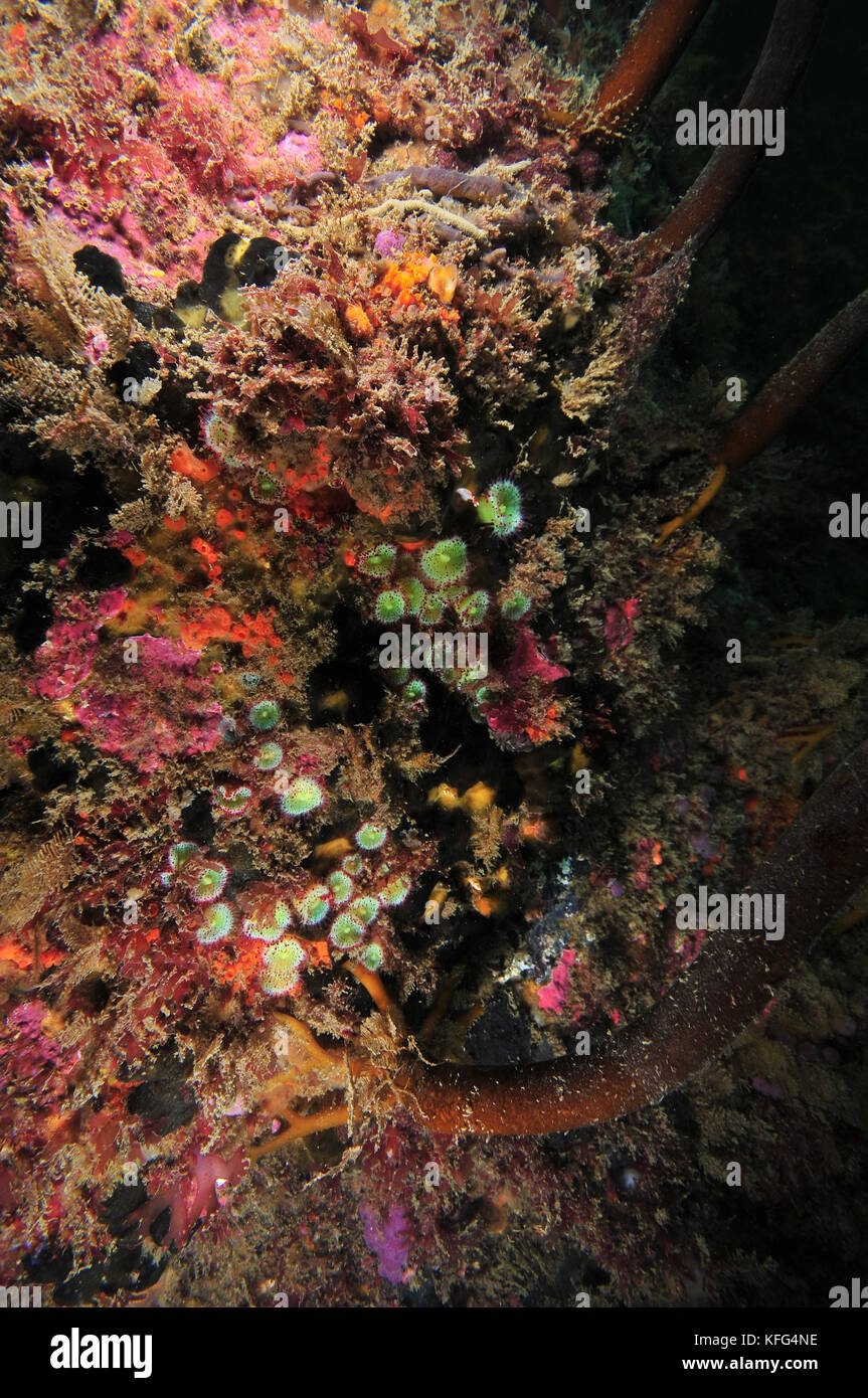 Colorful vertical wall covered with jewel anemones Corynactis australis and other colorful encrusting invertebrates. - Stock Image