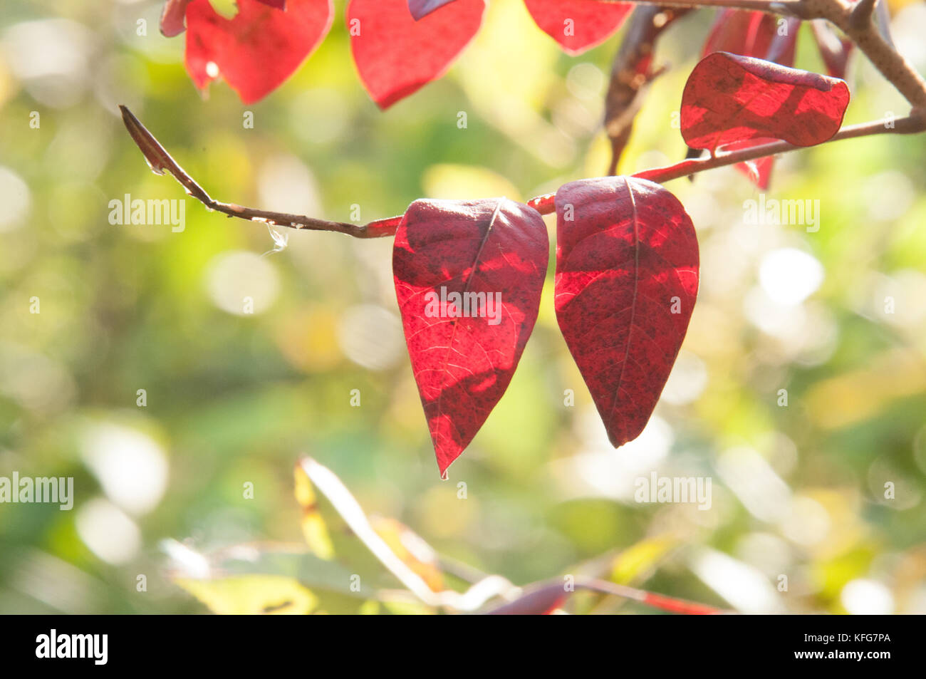 transparent leaves by sunlight - Stock Image
