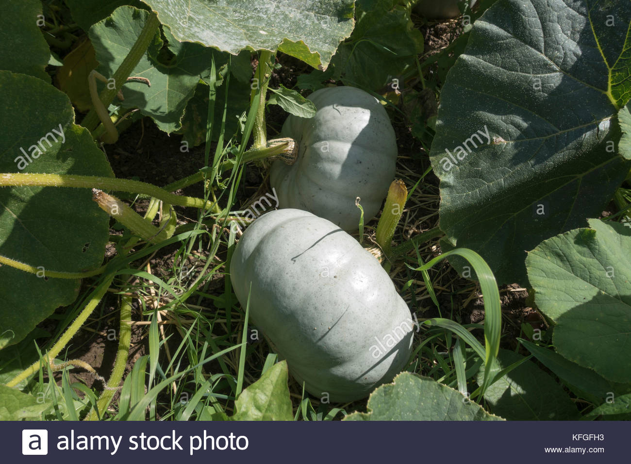 organically grown grey Pumpkins of the variety Cucurbita Maxima - Stock Image