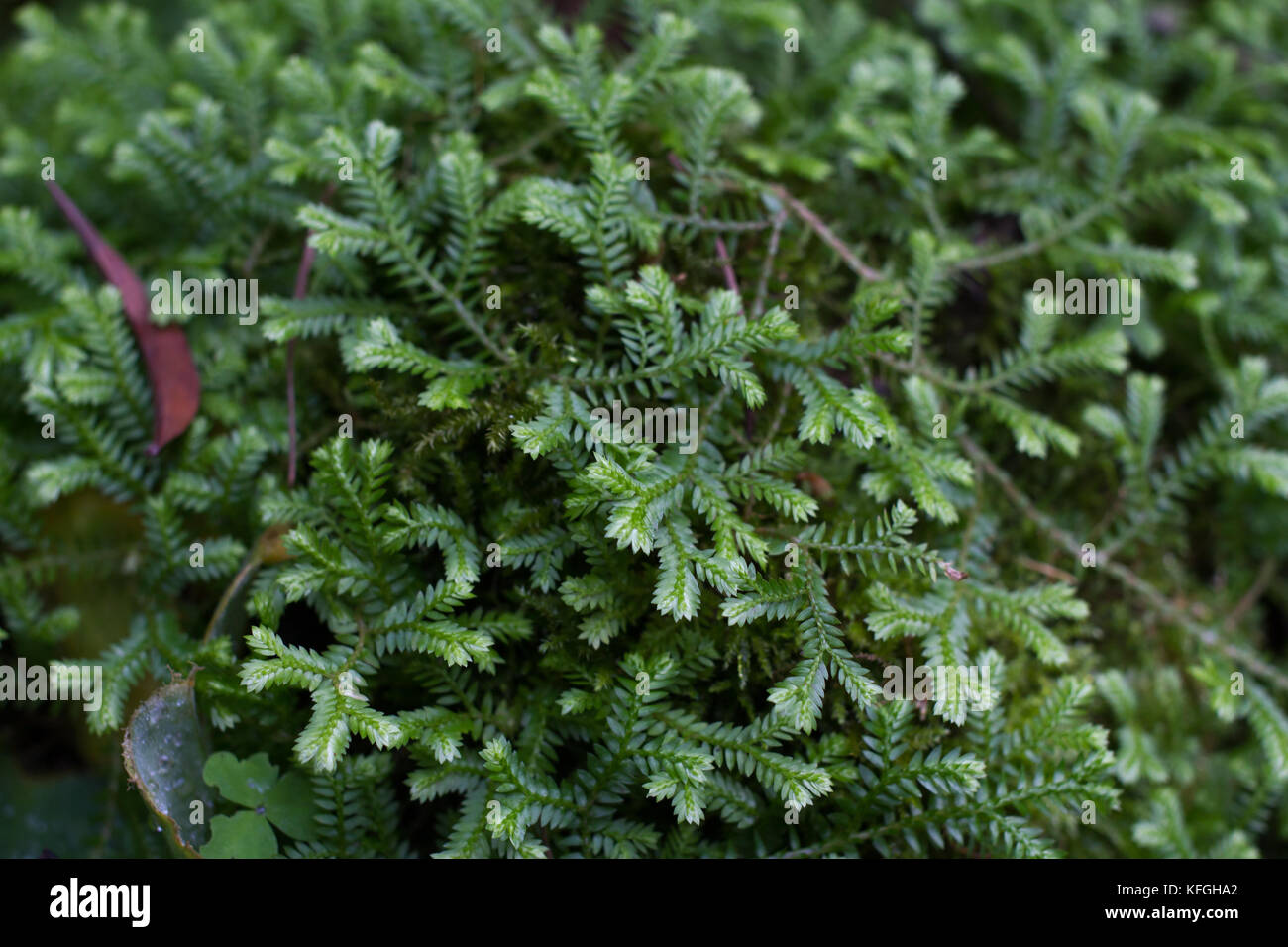 Selaginella sp. fern. Spike mosses expand out stones. - Stock Image