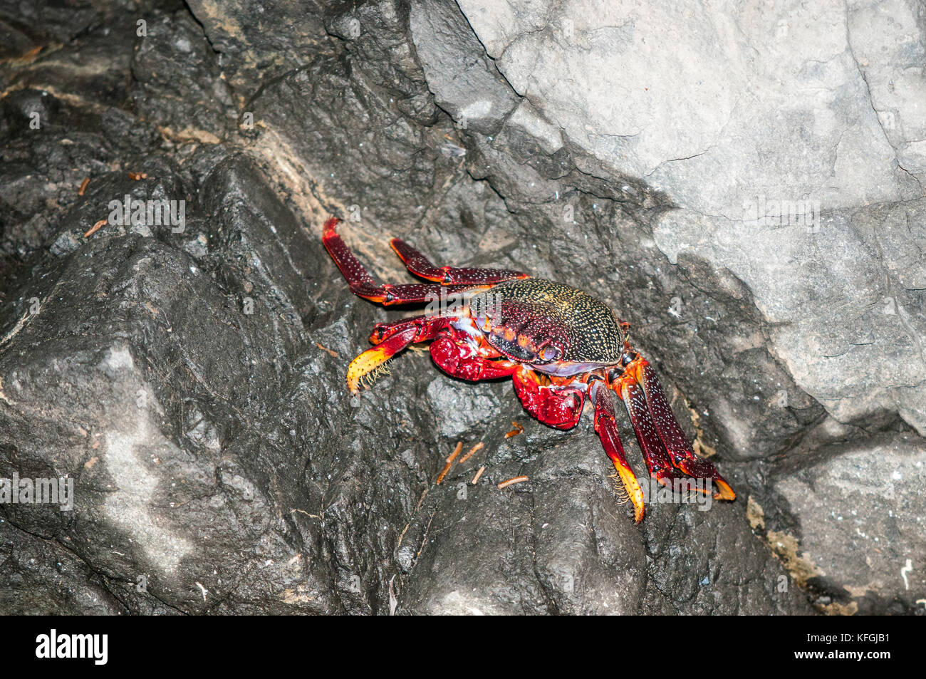 atlantic rock crab (Grapsus grapsus adscensionis) lying on a rock inside a cave, Fuerteventura, Canary Islands, Spain Stock Photo