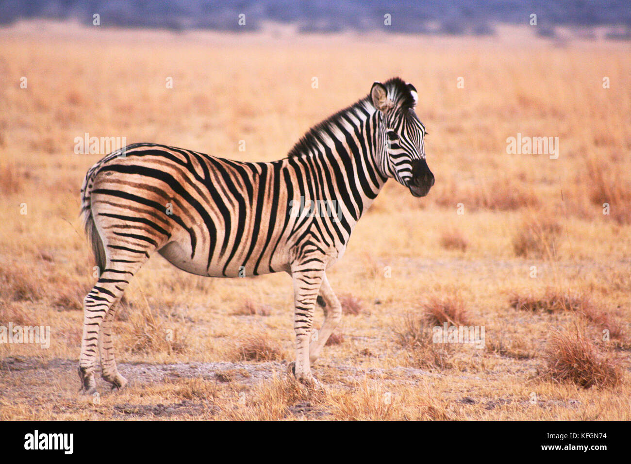 Lone Plains Zebra (Equus burchelli) on a game reserve in the early morning near Serowe, Botswana - Stock Image