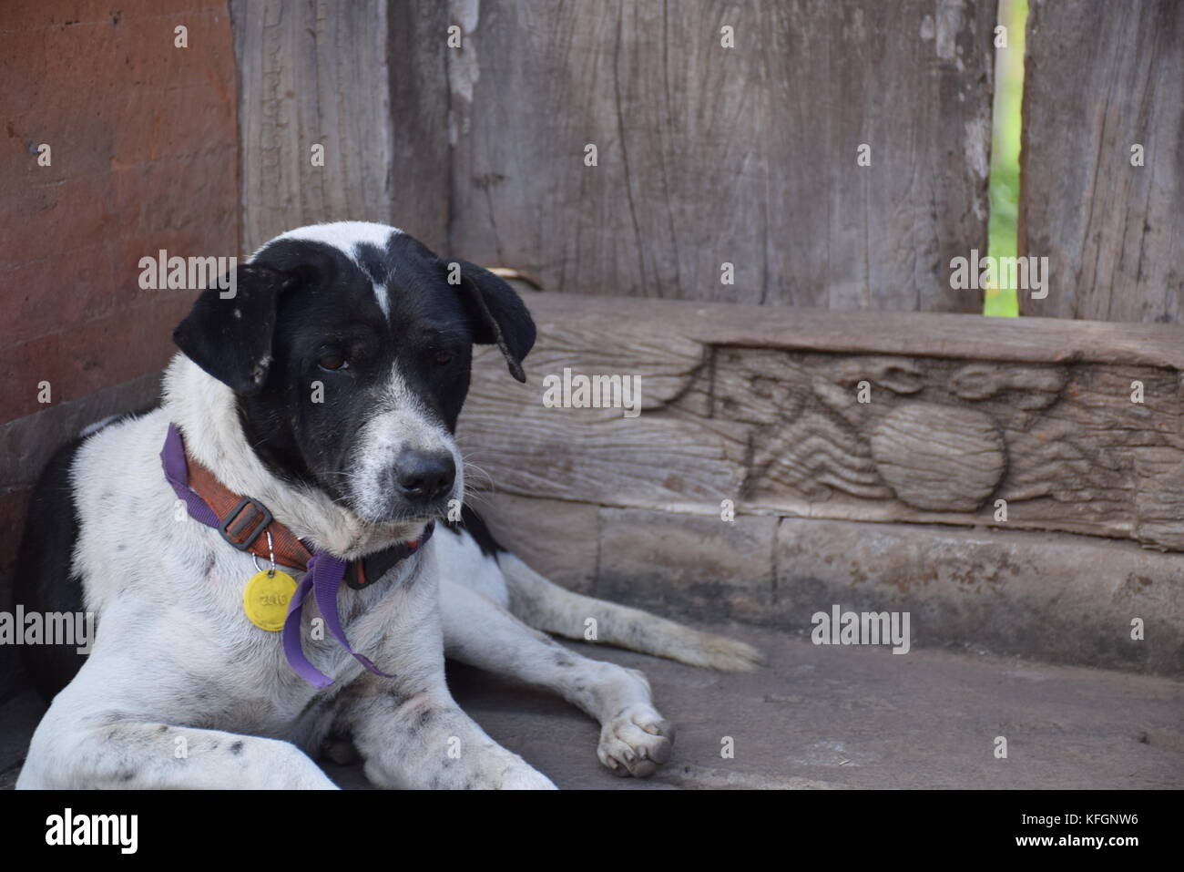A black and white dog near a door inside Tenganan Aga aboriginal village in Bali, Indonesia - Stock Image