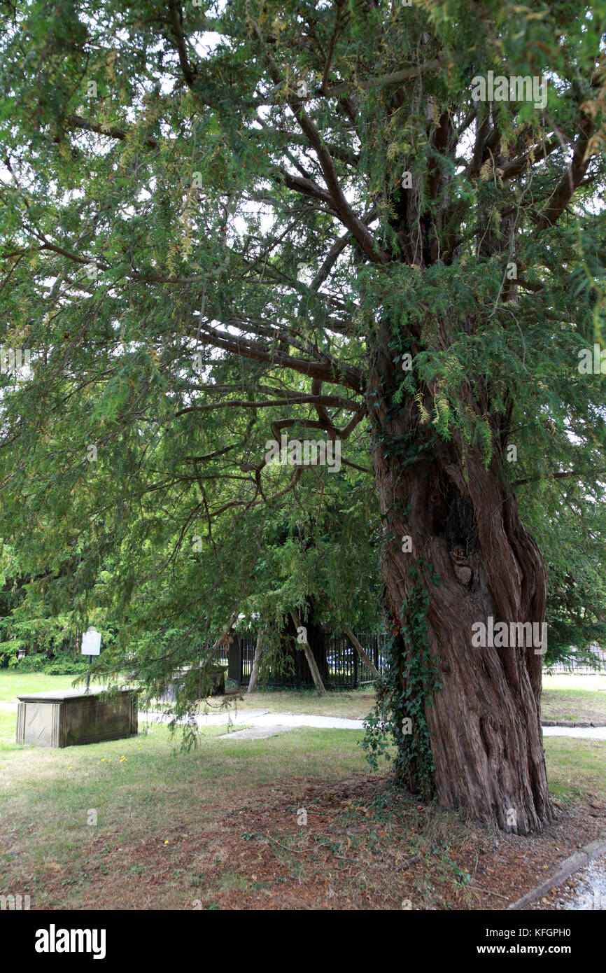 One of the 21 ancient yew trees in St Mary's churchyard, Overton-on-Dee, Wrexham, north Wales. - Stock Image