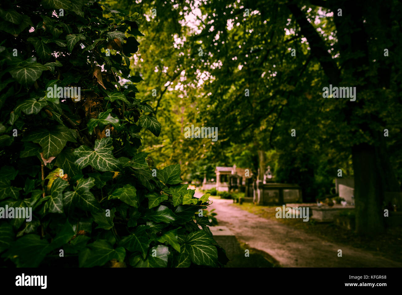 Ivy in the middle of the cemetery. - Stock Image