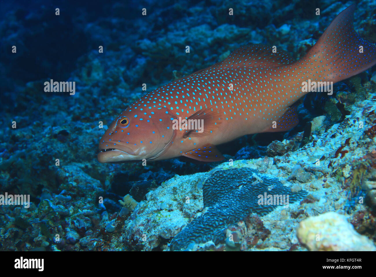 Roving coralgrouper fish (Plectropomus pessuliferus) underwater in the indian ocean - Stock Image