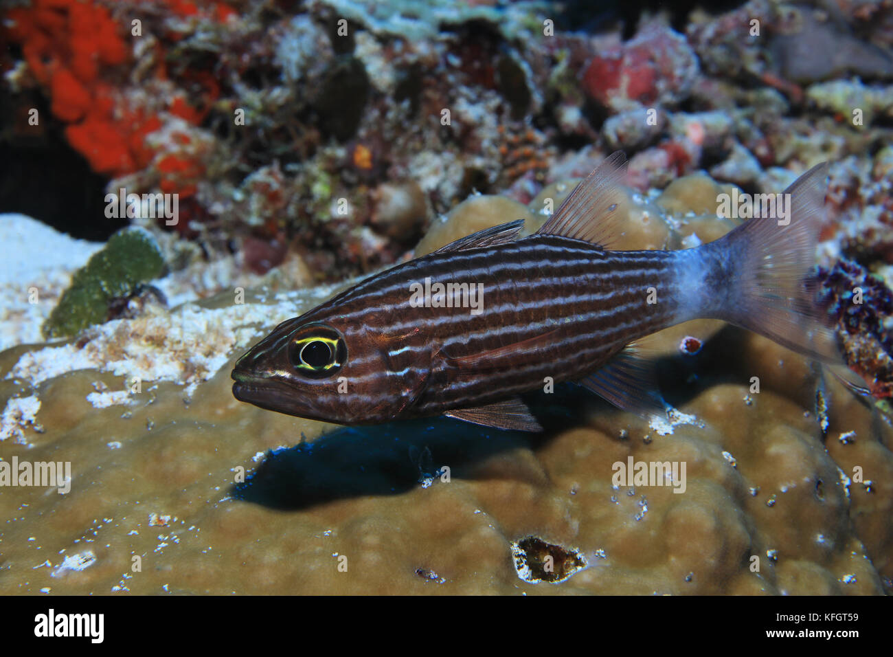Large toothed cardinalfish (Cheilodipterus macrodon) underwater in the tropical coral reef of the Maldives - Stock Image