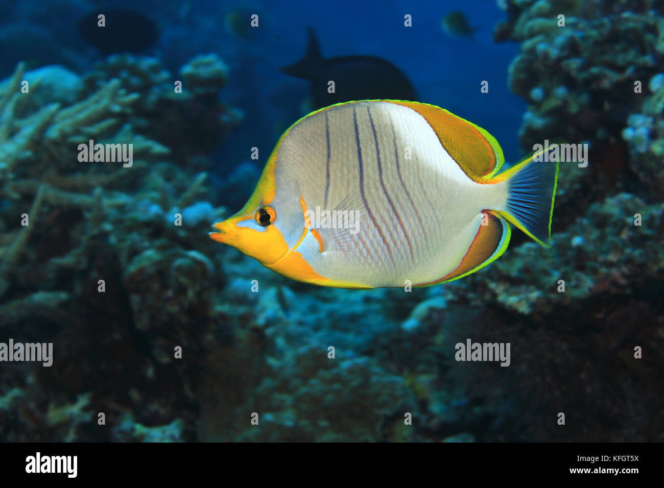 Yellowhead butterflyfish (Chaetodon xanthocephalus) in the tropical coral reef of the Maldives - Stock Image
