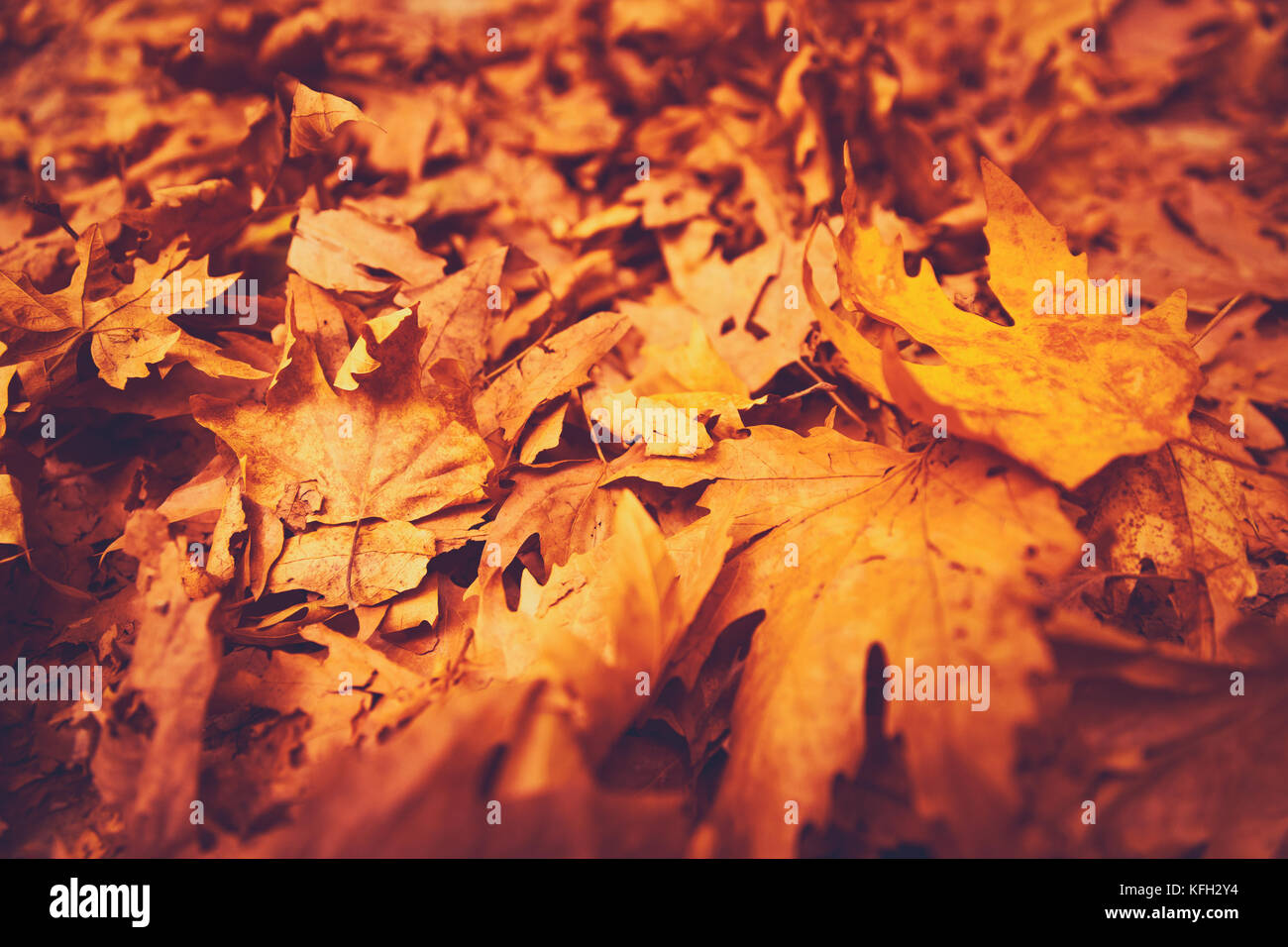 Autumn leaves background, dry orange maple foliage on the ground in the park, textured natural wallpaper, beautiful - Stock Image