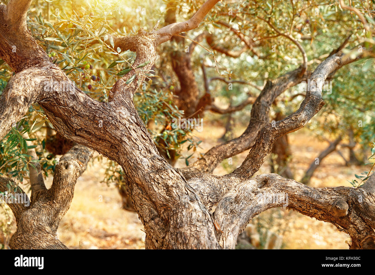 Beautiful Olive Trees In Garden Stock Photos & Beautiful Olive Trees ...