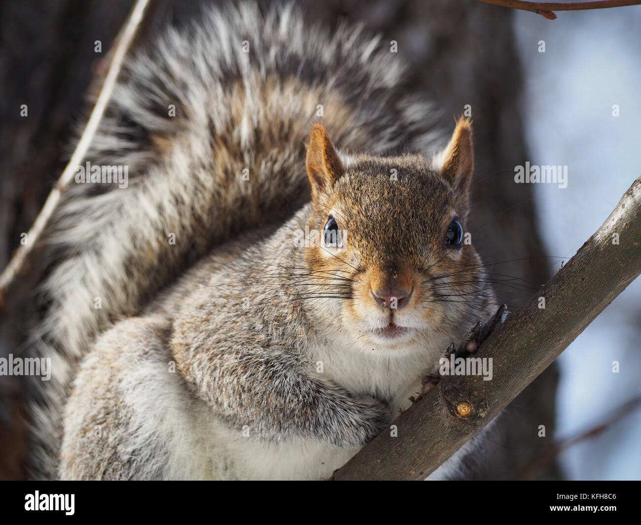 Eastern grey squirrel sitting on a tree, looking into the camera - Stock Image